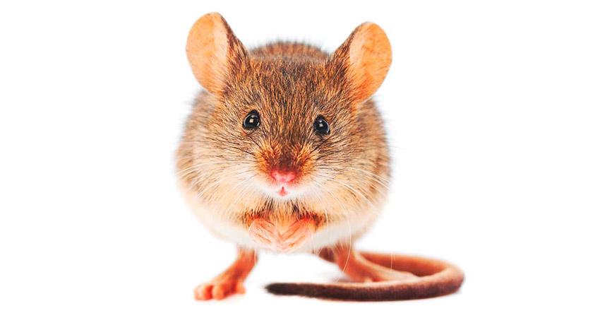 fábula del ratón y la ratonera